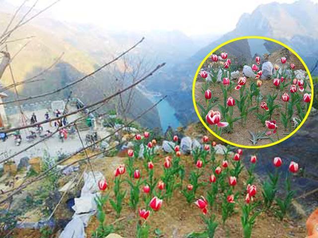 Ông bố người Tày liều thuê cả đồi đá Mã Pì Lèng trồng hoa tulip khiến bao người trầm trồ
