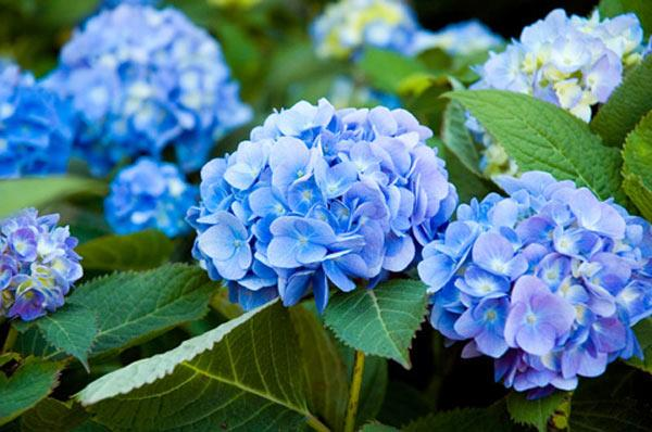 bi quyet cham hoa cam tu cau vuon nha no bung, sang ruc, dep nhu hoa da lat - 1